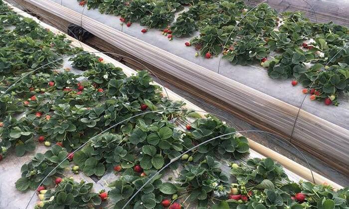 5 קטיף תותים 'תות בשדה - משק אריאל' במושב קדימה