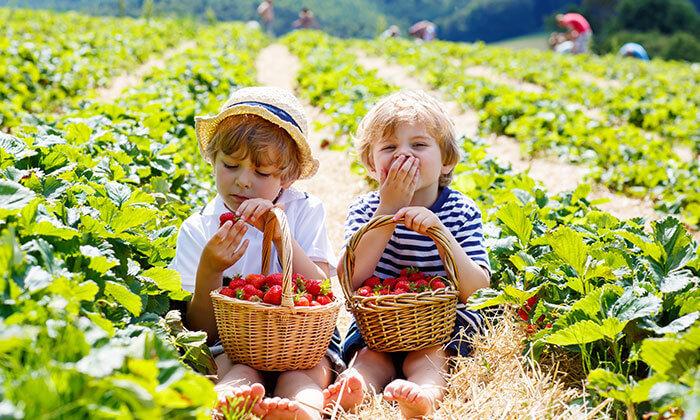 2 קטיף תותים 'תות בשדה - משק אריאל' במושב קדימה