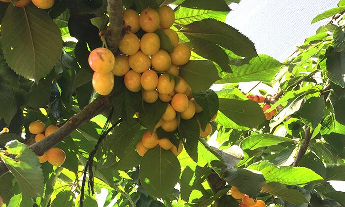 8 דיל חגיגת קיץ: קטיף דובדבנים ופירות יער בבוסתן של מוטי, עמק הבכא מול קיבוץ אלרום