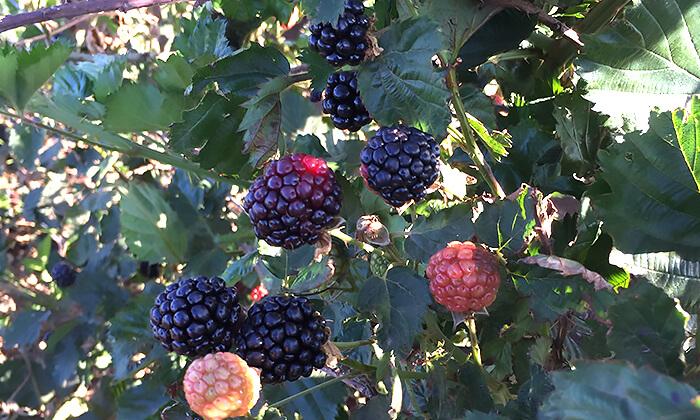 9 דיל חגיגת קיץ: קטיף דובדבנים ופירות יער בבוסתן של מוטי, עמק הבכא מול קיבוץ אלרום