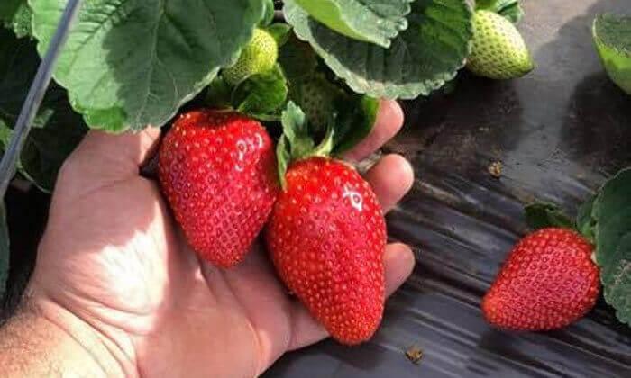 3 קטיף תותים ללא ריסוס 'תות בשדה - משק אריאל' במושב קדימה
