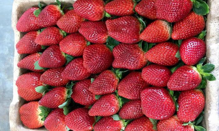 4 קטיף תותים ללא ריסוס 'תות בשדה - משק אריאל' במושב קדימה