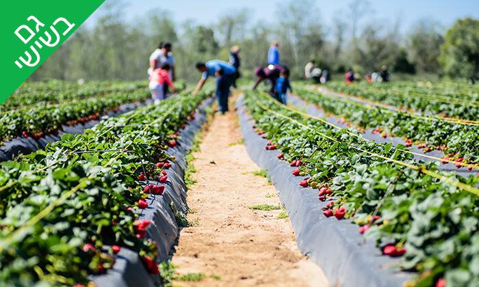 3 קטיף תותים ב'תות בשדה - משק אריאל', מושב קדימה