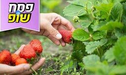 קטיף תותים ללא ריסוס-תות בשדה