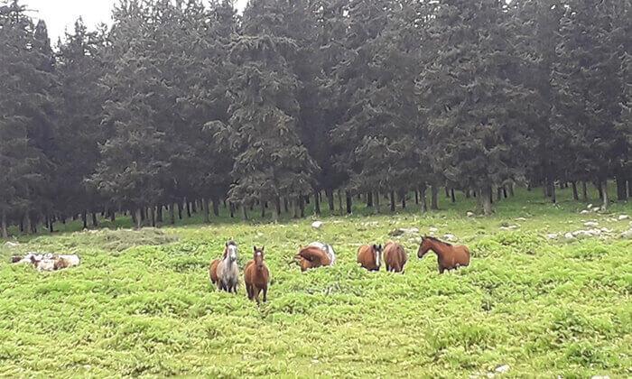3 טיול רכיבה זוגי בגליל על סוסים - חוות סוסי אדמה, אלון הגליל
