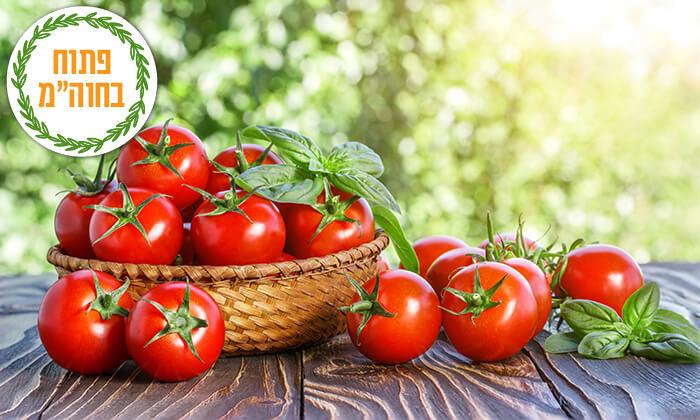 5 קטיף עגבניות שרי במשק אקלר, קדימה