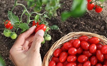 קטיף עגבניות שרי במשק אקלר
