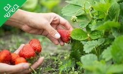 קטיף תותים במשק אריאל