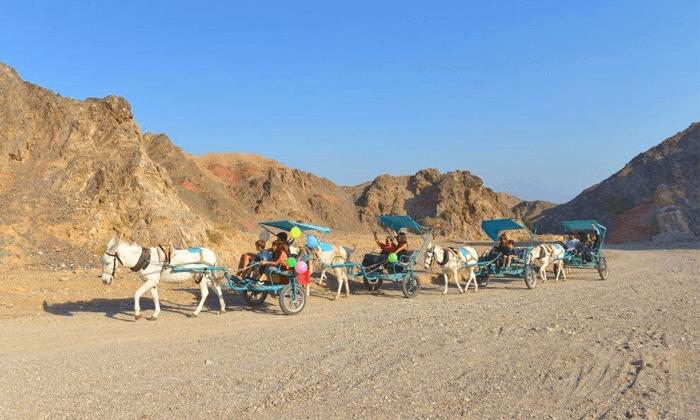 5 כרכרות חמורים בחוות הגמלים באילת